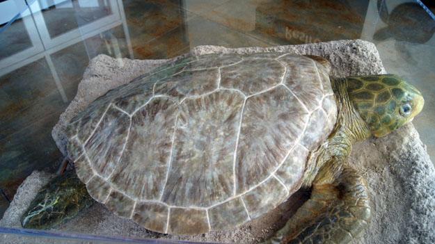 https://asoft11222.accrisoft.com/authenticfla//Sea Turtles/BarrierIslandSeaTurtle.jpg