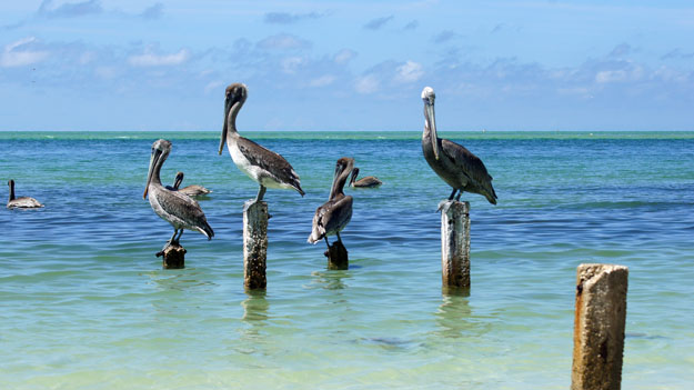 Brown Pelicans, Best Florida Places to See White Pelicans