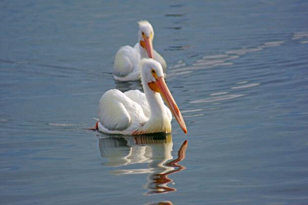 White Pelicans, Cortez Village