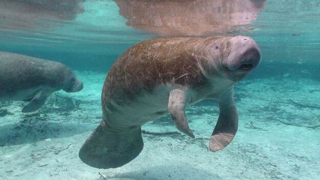 Photo of manatee in Crystal River