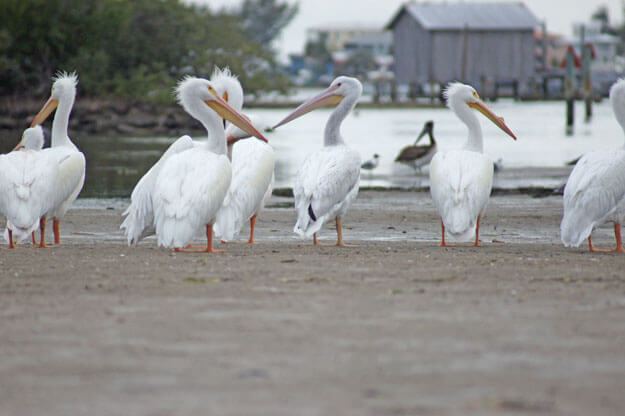White Pelicans, Cortez Village, Best Places to See White Pelicans