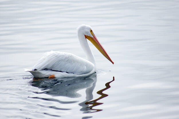 White Pelican, Best Florida Places to See White Pelicans