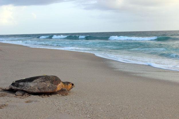 https://asoft11222.accrisoft.com/authenticfla//Sea Turtles/TurtleWalkBacktoWaterEd.jpg