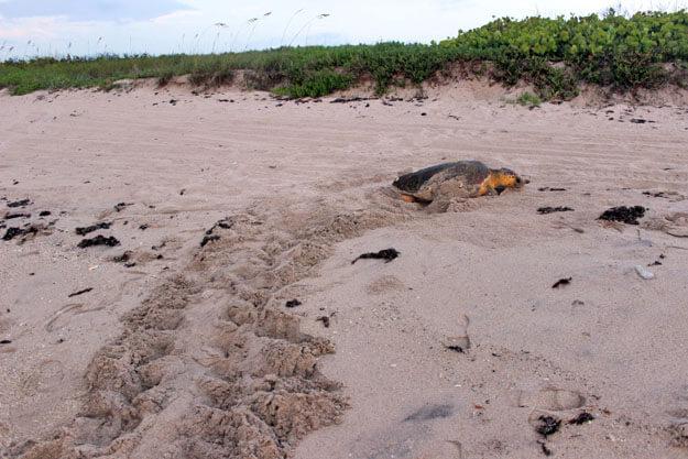 /Sea Turtles/TurtleWalkMakingNestEd.jpg