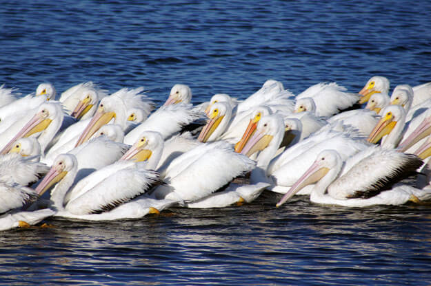 White Pelicans, Best Florida Places to See White Pelicans