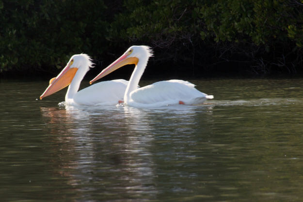 White Pelicans, Placida, Best Places in Florida to See White Pelicans