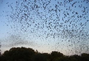 Photo of bats at UF Bat House in Gainesville Florida