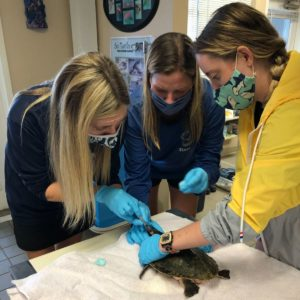 Mote staff members and interns on Nov. 21 as they provide emergency care for the first group of cold-stunned Kemp's ridley sea turtles.